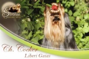 CH.-Cocker-Liberi-Gaias1-300x200 Machos