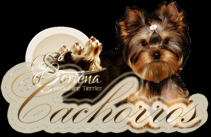 Cachorros-Soriena-Yorkshire-Terrier Cachorros