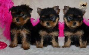 Cachorros-Soriena1-300x184 Yorkshire Terrier, Cría y cruce
