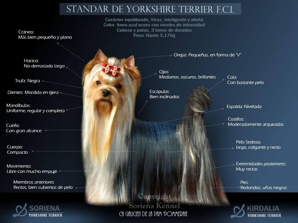 Estandar-del-Yorkshire-Terrier-F.C.I.-1024x768 Standard  YORKSHIRE TERRIER en