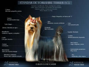 Estandar-del-Yorkshire-Terrier-F.C.I.-300x225 Historia del Yorkshire Terrier