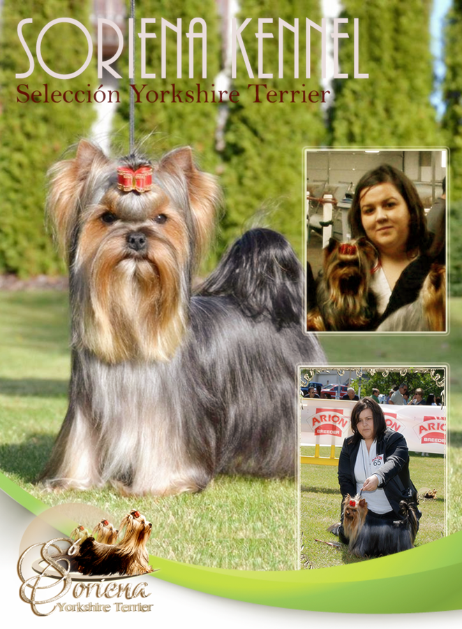 Soriena-Selleción-Yorkshire-Terrier1 Machos