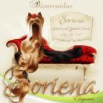 Soriena-Yorkshire-Terrier-Bienvenidos1-150x150 Imágenes