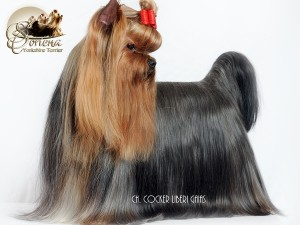 "CH.-Cocker-Liberi-Gaias18-300x225 Yorkshire ""chocolate""- NO SE CONTEMPLA EN LA RAZA YORKSHIRE TERRIER"