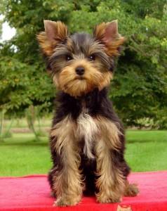 Geronimo-de-la-Pam-Pommeraie3-238x300 Calendario de Vacunación del Yorkshire Terrier