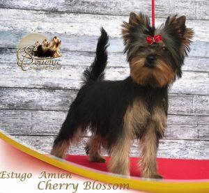 CHERRY-BLOSSOM22-300x277 Hembras
